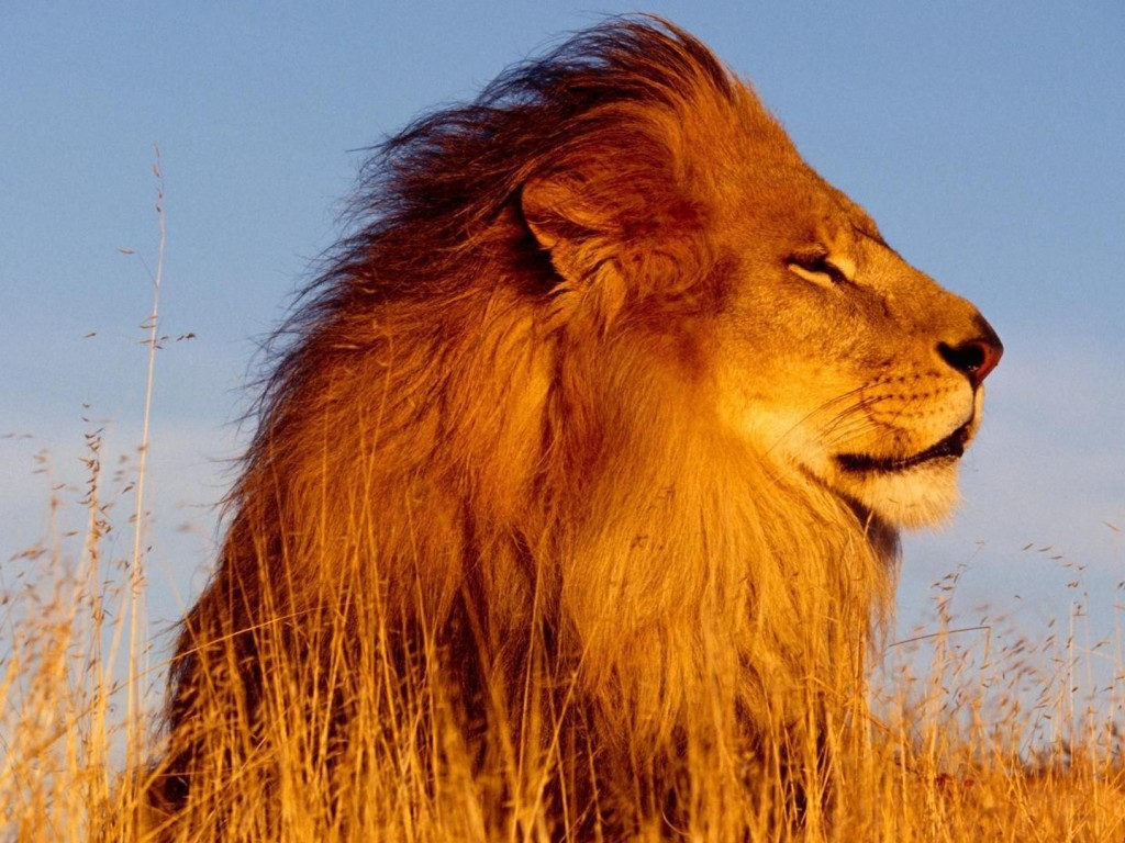 African-Lion-Wallpaper-1024x768