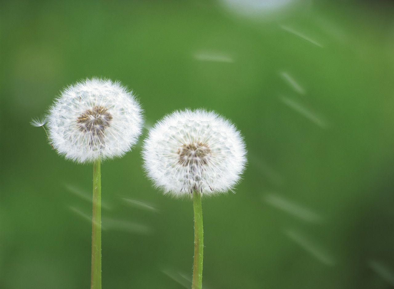 Two Dandelion Seed Heads --- Image by © Royalty-Free/Corbis